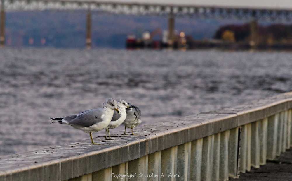 I was out early for some sunrise shots on a very cold and windy morning.  These gulls were just sitting on the rail, pretty much oblivious to the wind and temperature.