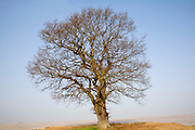 Single leafless oak tree in winter against blue sky, Wantisden, Suffolk, England