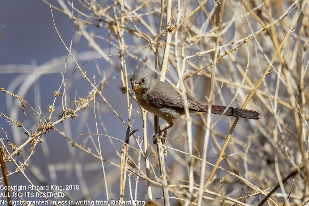 Birding photography from Whitewater Draw Wildlife Area Arizona, USA