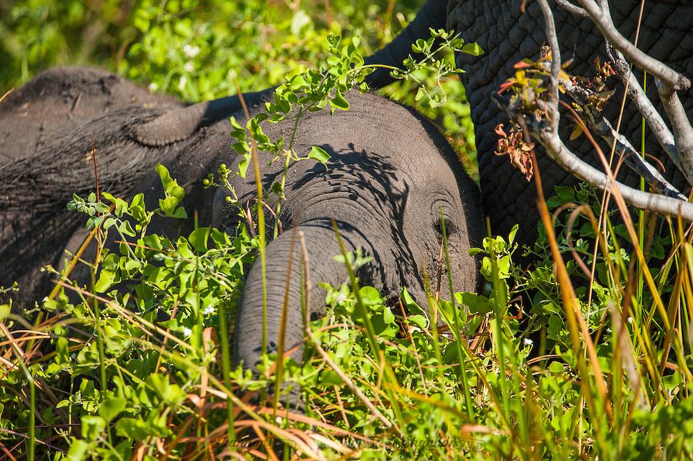 A young African Elephant peeking through bushes.