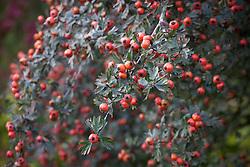 The berries of Crataegus orientalis syn. Crataegus laciniata - Hawthorn