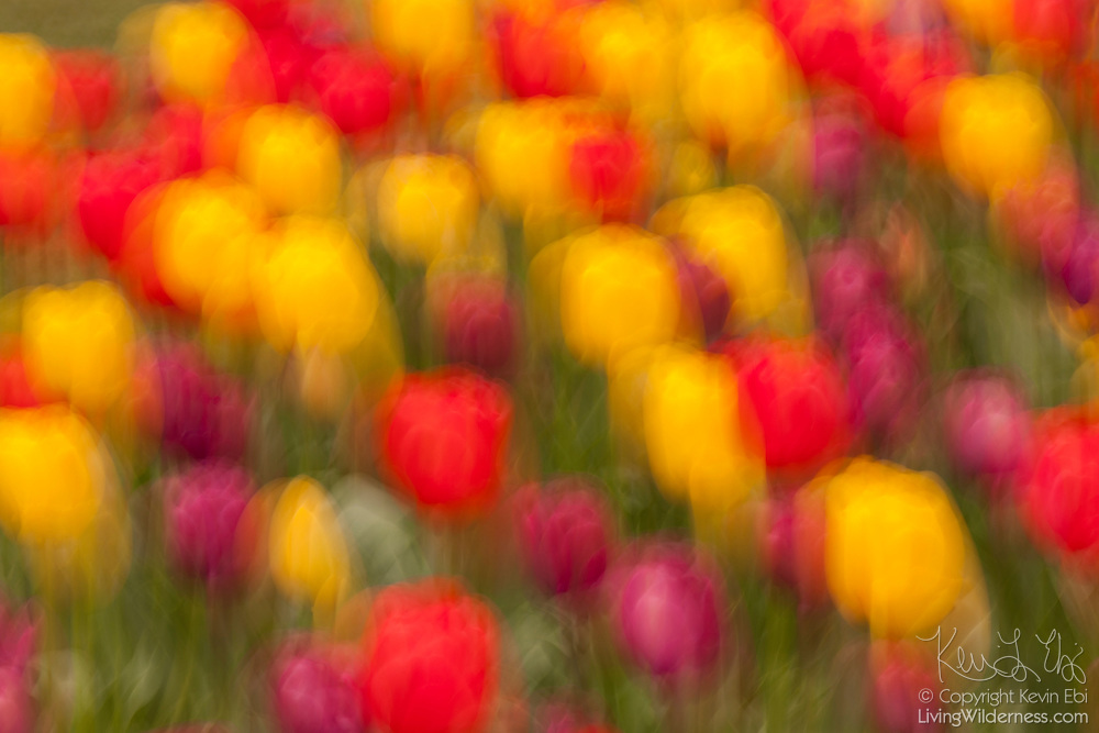 Moving the camera during a long exposure results in this impressionistic view of the blooming tulips in the Skagit Valley of Washington state. A million people each year visit the area near Mount Vernon to check out 300 acres of cultivated tulips. This colorful arrangement of red, yellow and violet tulips was found growing in a garden at Roozengaarde, one of the largest tulip producers in the area.