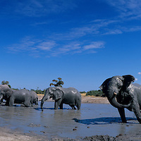 Africa, Botswana, Chobe National Park, Herd of elephants (Loxodonta africana) cools off in muddy water hole in Savuti Marsh