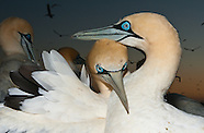 Gannets & Booby