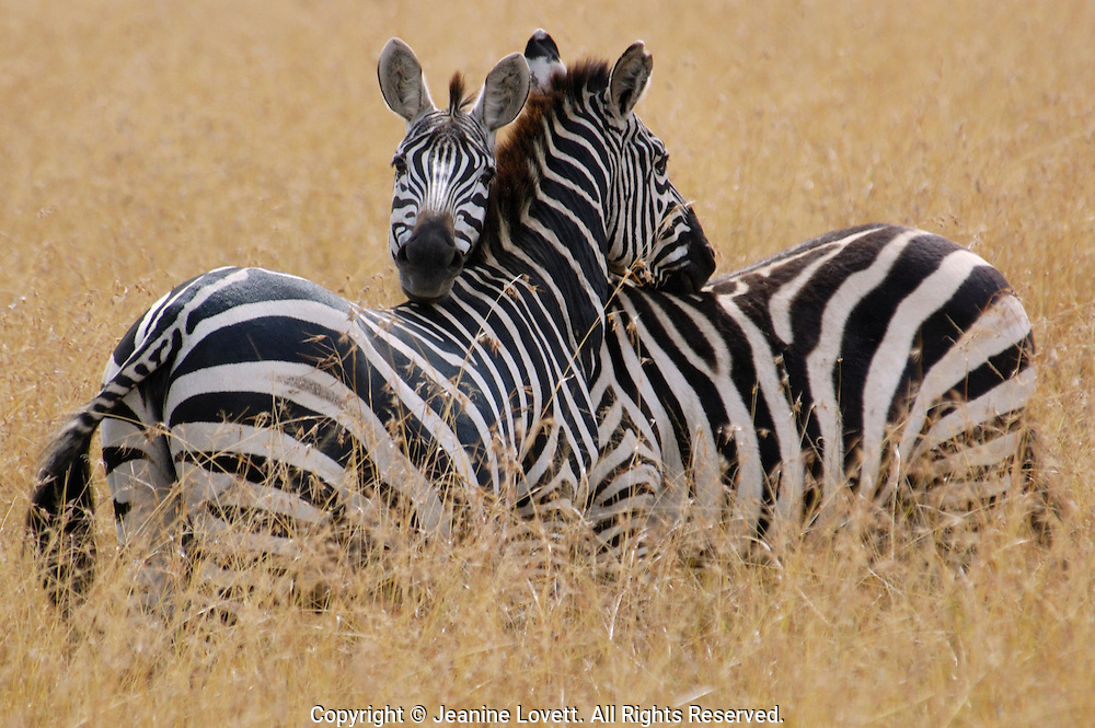 Zebra shows affection by resting each other heads on the others back.