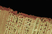 An SEM image of a reed from a woodwind instrument.  The reed is from Giant Grass (Arundo donax ), also called, wild cane or giant cane, native to  South Eastern France. Small slivers of the giant grass are shaped into thin wedges that vibrate when air is blown across the surface.  These musical reeds are  used by woodwind instruments such as saxophones and clarinets, and double reed wind instruments such as bassoons and oboes.  The reeds are also used in saxophones and clarinets,  The magnification of the image is x80 when printed 10 cm wide