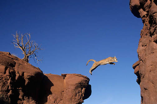 Mountain Lion or Cougar, (Felis concolor) Jumping crevasse in red rock country near Moab, Utah.  Red rock country. Captive Animal.