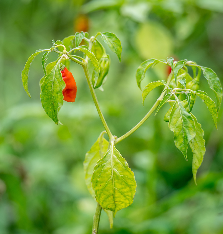 Peppers (Capsicum) grows on a vine in Ganta, Liberia