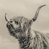 Close up of highland cattle face with tongue and large horns