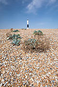 Sea kale vegetated shingle on the pebbly beach and lighthouse at Dungeness in Kent, UK