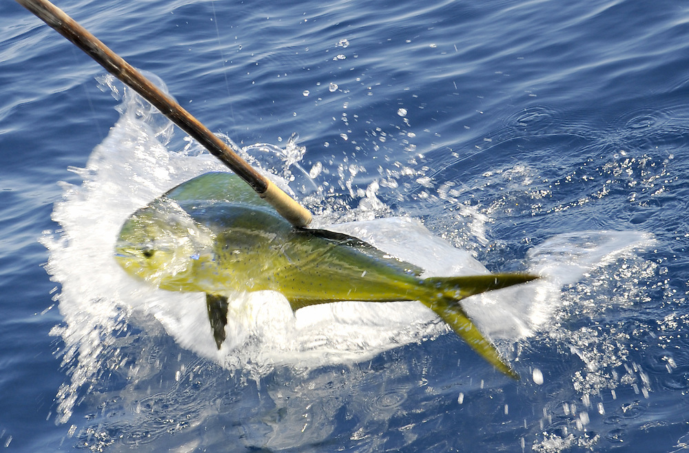 A Dorado is gaffed and brought on board a fishing boat.
