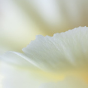 Macro floral image of a white carnation.