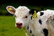 Baby Cow with her new yellow earrings