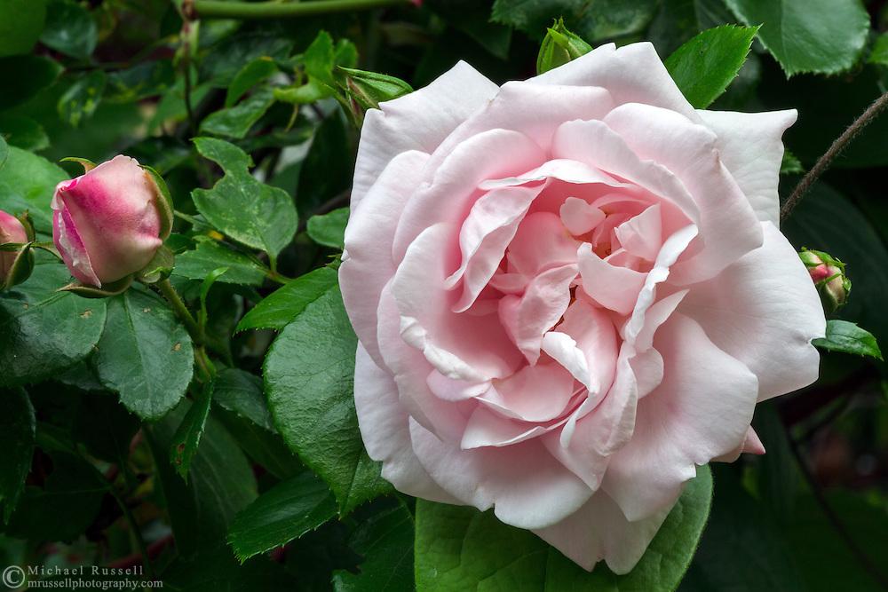 A 'New Dawn' climbing rose flowers in a backyard garden