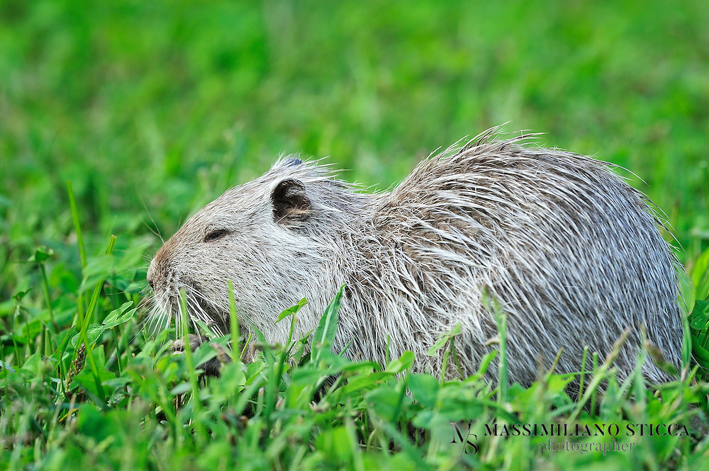 The coypu (from the Mapudungun, koypu), (Myocastor coypus), also known as the river rat, and nutria, is a large, herbivorous, semiaquatic rodent and the only member of the family Myocastoridae. Originally native to subtropical and temperate South America, it has since been introduced to North America, Europe, Asia, and Africa, primarily by fur ranchers. Although it is still valued for its fur in some regions, its destructive feeding and burrowing behaviors make this invasive species a pest throughout most of its range.<br /> There are two commonly-used names in the English language for Myocastor coypus. The name &quot;nutria&quot; (or local derivatives such as &quot;nutria- or nutra- rat&quot;) is generally used in North America and Asia; however, in Spanish-speaking countries, the word &quot;nutria&quot; refers to the otter. To avoid this ambiguity, the name &quot;coypu&quot; (derived from the Mapudungun language) is used in Latin America and Europe. In France, the coypu is known as a ragondin. In Dutch it is known as beverrat (beaver rat). In Italy, instead, the popular name is, as in North America and Asia, &quot;nutria&quot;, but it is also called castorino (&quot;little beaver&quot;), by which its fur is known in Italy. Coypus live in burrows alongside stretches of water. They feed on river plants, and waste close to 90% of the plant material while feeding on the stems.