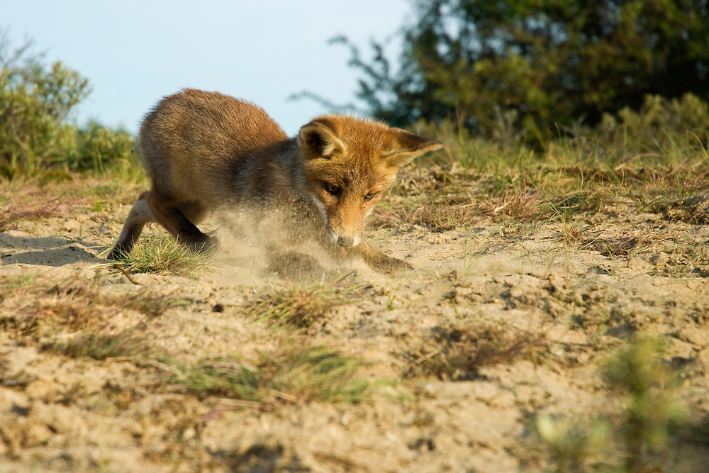 Red Fox. Rode vos. Amsterdamse waterleidingduinen, The Netherlands.