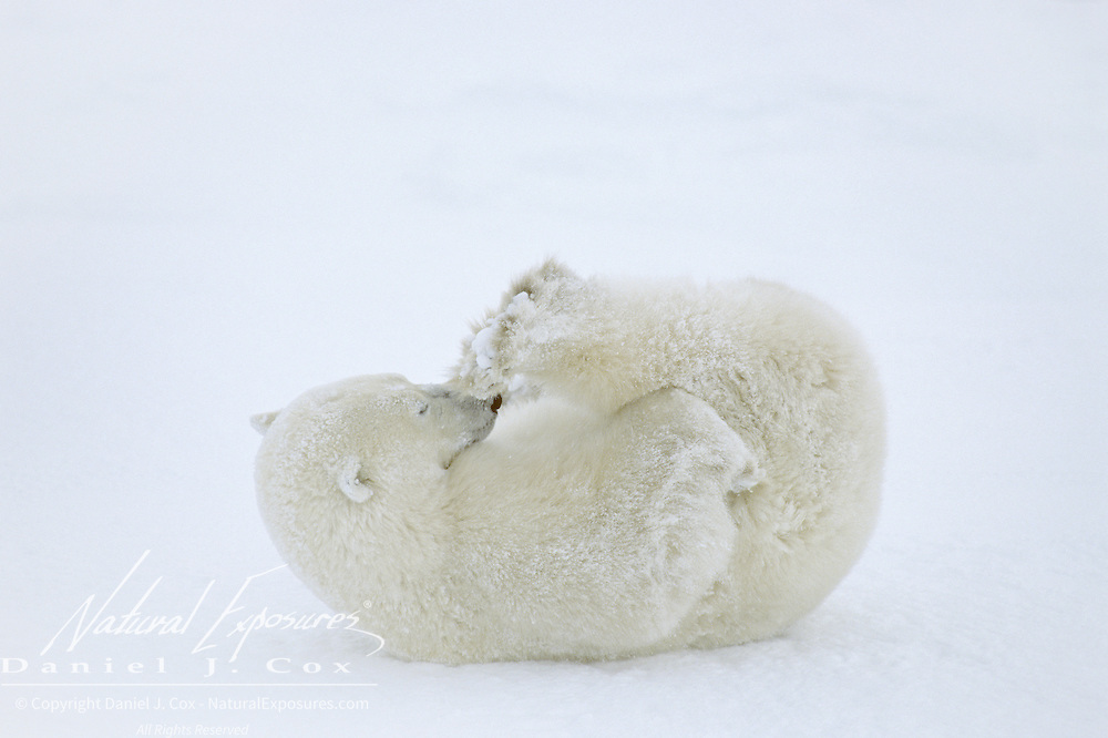 Polar Bear sub adult rolling in the snow, playing with its feet. Churchill, Manitoba, Canada