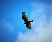 Turkey Vulture. Image taken with a Nikon D5 camera and 600 mm f/4 VR telephoto lens (ISO 64, 300 mm, f/6.3, 1/640 sec).