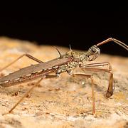 Spined Reduviidae sp. assassin bug in Kaeng Krachan National Park, Thailand.