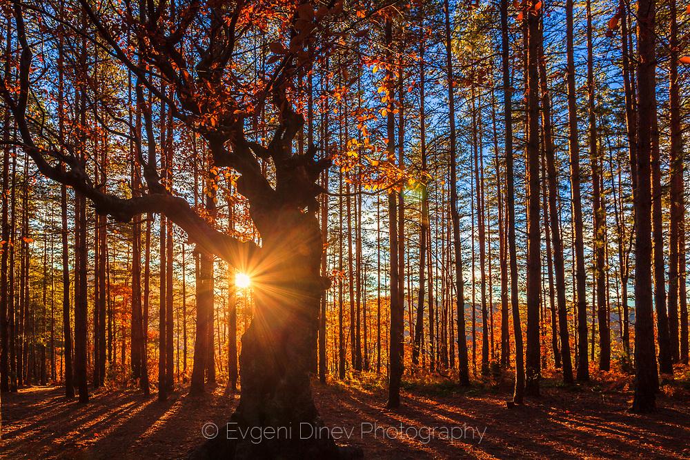 A deciduous tre in coniferous forest