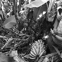 """Título: """"Cosecha e hijos - Tsimari""""<br /> Técnica: Impresión digital en papel de algodón.<br /> Dimensiones: 14"""" x 9.50"""" pulgadas<br /> Precio $ 1,100.00 USD **El 25% del precio va destinado a comunidades indígenas.<br /> Autor: Melanie L. Wells-Alvarado<br /> +(506) 8753-8231   www.melwellsphotography.com www.awindowintothesoul.com"""