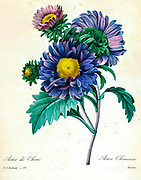 19th-century hand painted Engraving illustration of Chinese Aster (Callistephus chinensis syn Aster chinensis) flowers, by Pierre-Joseph Redoute. Published in Choix Des Plus Belles Fleurs, Paris (1827). by Redouté, Pierre Joseph, 1759-1840.; Chapuis, Jean Baptiste.; Ernest Panckoucke.; Langois, Dr.; Bessin, R.; Victor, fl. ca. 1820-1850.