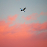A Sandhill crane descending towards a feeding area in the early morning skies of southern New Mexico