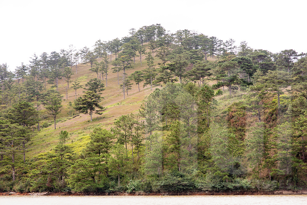 Pine forest grow over a hill in Dalat, Vietnam, Southeast Asia