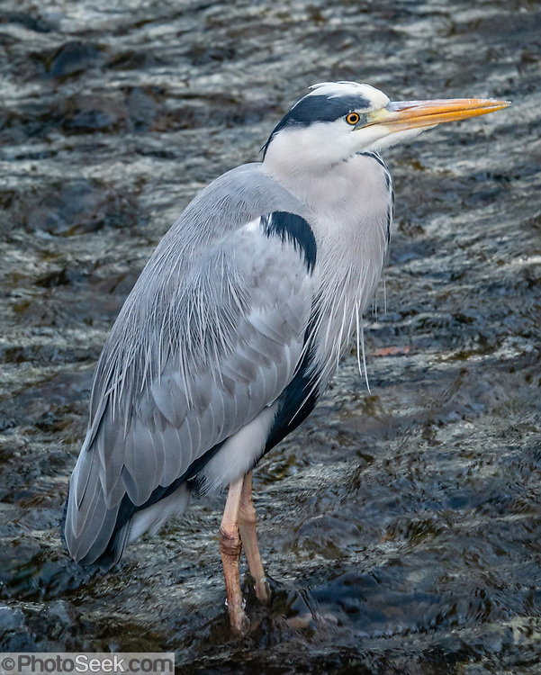 The grey heron (Ardea cinerea) is a long-legged predatory wading bird of the heron family, Ardeidae, native throughout temperate Europe and Asia and parts of Africa. It is resident in much of its range, but some populations from the more northern parts migrate southwards in autumn. A bird of wetland areas, it can be seen around lakes, rivers, ponds, marshes and on the sea coast. It feeds mostly on aquatic creatures which it catches after standing stationary beside or in the water or stalking its prey through the shallows. This bird was photographed in Gion district, Kyoto, Japan.