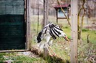 Oasi Pantano di Pignola, Basilicata, Italia, 27/02/2016<br /> Un airone cenerino all'interno dell'area per il recupero degli animali selvatici dell'oasi del WWF Pantano di Pignola.<br /> <br /> Oasis Pantano Lake in Pignola, Basilicata, Italy, 27/02/2016<br /> A grey heron into the Recovery Center for Wild Animals of Pantano Lake in Pignola Oasis.