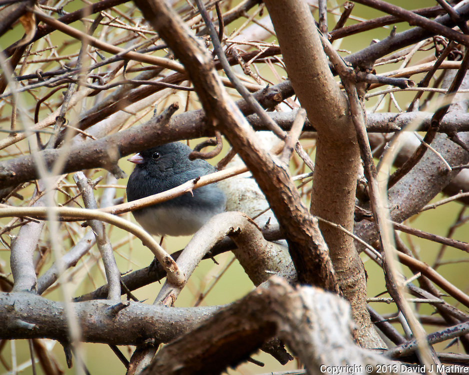 "Dark-eyed ""Slate-colored"" Junco Hiding in the Bushes. Backyard Spring Nature in New Jersey. Image taken with a Nikon 1 V2 camera, FT1 adapter,and 28-300 mm VR lens (ISO 160, 300 mm, f/5.6, 1/200 sec)."