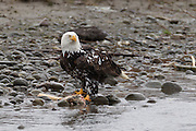 An adult bald eagle (Haliaeetus leucocephalus) with a rare pigment disorder known as Leucism feeds along the Nooksack River in Washington's North Cascades. Leucism is a mutation that prevents melanin, a pigment, from being produced in parts of the bird's body. The condition is related to albinism where the animal is entirely unable to produce pigment.