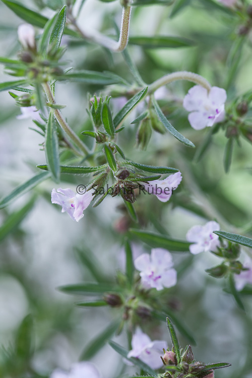 Satureja hortensis - summer savory