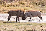 two male Warthogs (Phacochoerus africanus) fighting. Photographed in Tanzania
