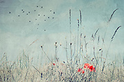 Poppies and dry weeds on a summer day - vintage texture processing<br />