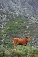14/06/15 - REGION DE CORTE - HAUTE CORSE - FRANCE - Genisse de race Corse dans le maquis - Photo Jerome CHABANNE