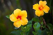 Yellow hibicus, Hawaii state flower