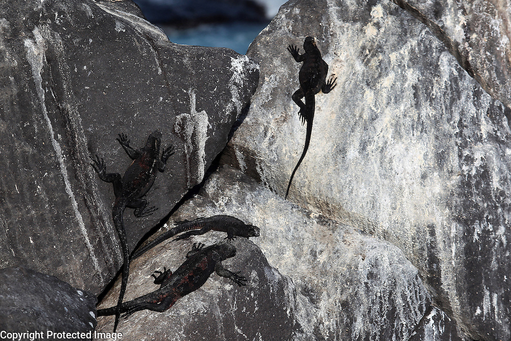 Marine iguanas, found only on the Galapagos Islands, lounge on a rock on Espanola Island. The marine iguana is the only modern lizard that lives and forages in the sea and its primary food source is marine algae. Because they have to rid their bodies of excess salt, one can often see marine iguanas making a sort of sneezing sound and expelling water and salt from their noses.
