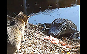 He's no scaredy-cat! Angry feline who took on an alligator <br /> <br /> It looks like a good way for this cat to become a tasty snack.<br /> But when the bold feline decided to take on an alligator in New Orleans, he came out remarkably intact. <br /> He chose to take on the reptile at an wildlife park just as it was trying to eat some chicken, and began raining blows on its snout.<br /> Tourists on a Cajun Pride Swamp Tour, looked on stunned as the moggy took offence to an alligator trying to eat some chicken.<br /> <br /> It begins with the cat firing off three right jabs before the gator steps back to flash its most menacing stare down ever.<br /> After the tense face off, the gator moves forward, grabs a piece a chicken and wham! gets a right hook straight in the mouth.<br /> As the 'living fossil' twists its head and picks up more meat, the cat unleashes three left hooks in quick succession.<br /> The American alligator can weigh up to 800lbs and grow to 13 feet, but our fluffy fighter didn't care for facts and figures - it simply didn't like the ugly beast.<br /> <br /> Sitting bolt upright, its ears went back and it started hissing.<br /> The gator tried coming at the chicken from a different direction, the cat threw an overhand right, the dazed gator sheepishly retreated into the water and ding! ding! ding! the fight was over.<br /> The cat may be the bravest or most stupid you've ever seen and a cynic may argue that the gator has been trained not to attack.<br /> But who's ever heard of a trained alligator?<br /> ©Exclusivepix