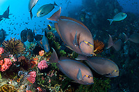 Surgeonfish congregate over a colorful reef ridge<br /> <br /> Shot in Indonesia