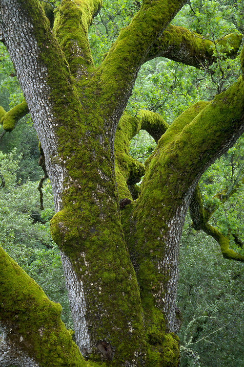 Detail of the moss covered trunk of a oak tree, Quecus, on Mount Hamilton