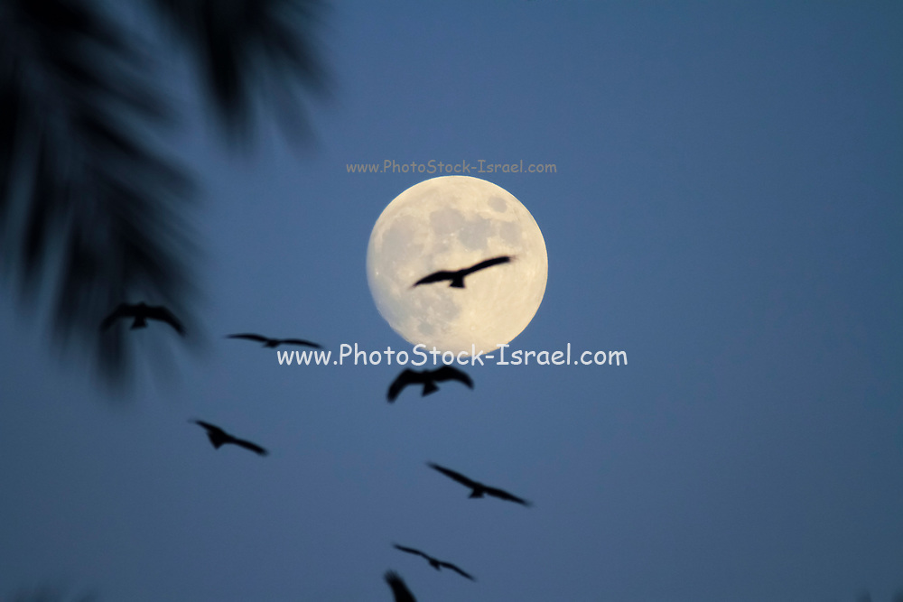 Silhouette of birds flying a large full moon in the background