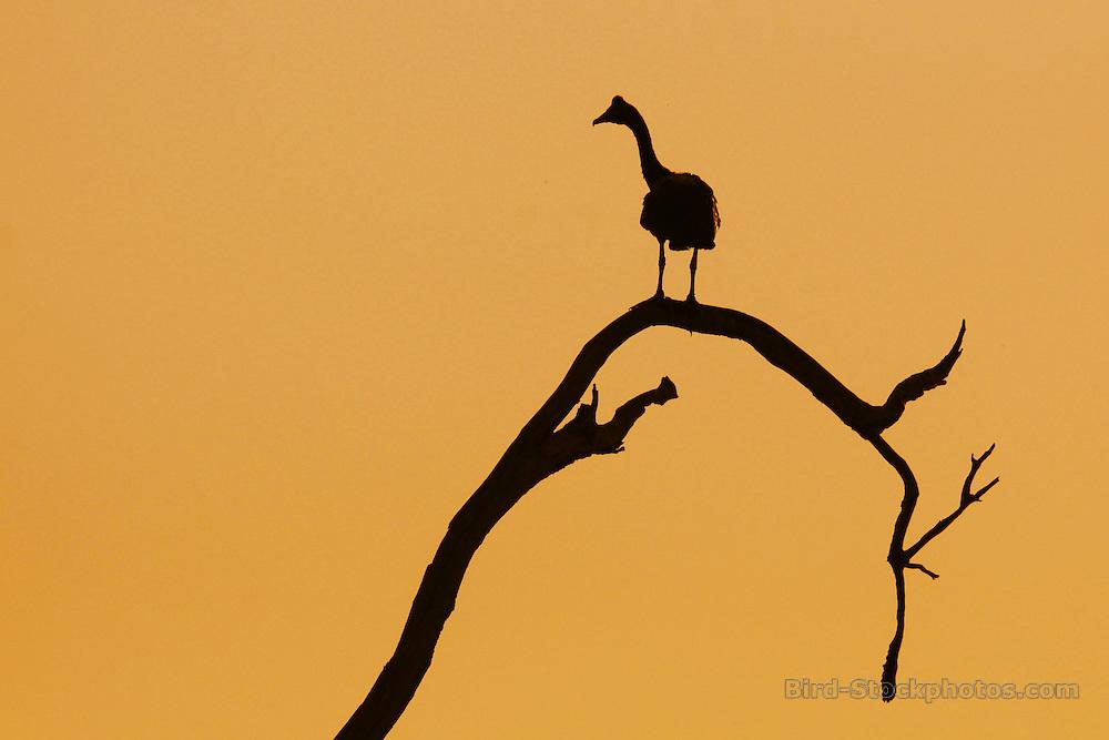 Magpie Goose, Anseranas semipalmata, Silhouette, Australia, by Jonathan Rossouw