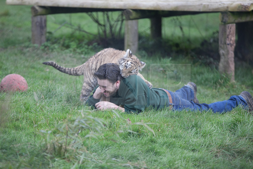 © London News Pictures. 04/02/2013.Head of Large Carnivore Section Ben Warren plays with endamgered Siberian cub. Howletts Wild Animal Park in near Canterbury, Kent, officially announces endangered Siberian cubs debut. Siberian or Amur tigers are endangered in the wild and it is estimated that only 400 remain. Picture credit should read Manu Palomeque/LNP