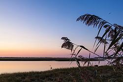Phragmites australis silhouettes at dawn. Fort Hill, Cape Cod National Seashore. Eastham, Massachusetts. Invasive species.
