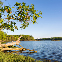 A pin oak tree leans out over the Oyster River at Emery Farm in Durham, New Hampshire.