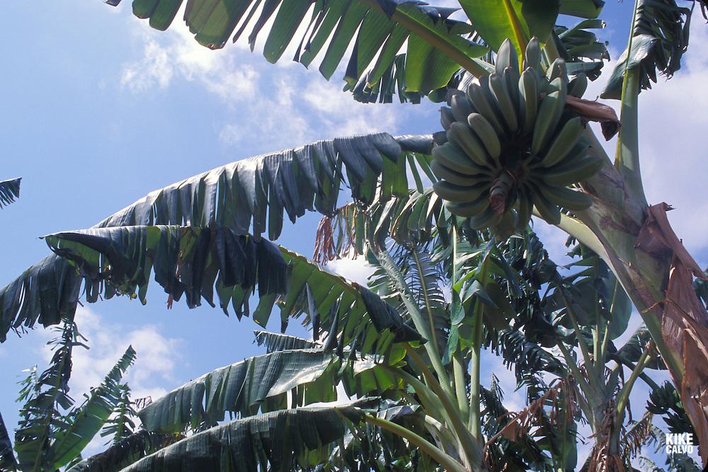 Banana Tree.Canary Islands Spain.