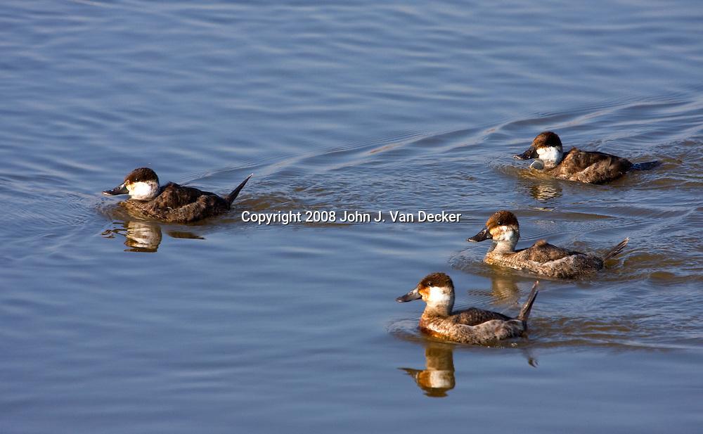 Ruddy Ducks swimming in a salt marsh, Oxyura jamaicensis