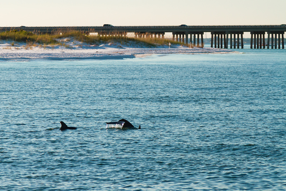 A pair of Common Bottle Nose Dolphin (Tursiops truncatus) play within the jetties surrounded by Destin, Florida.