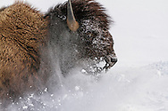 During the long Wyoming winter, bison must often break through areas where snow is near five feet deep. The hardest work falls to the leader of the herd who uses his massive body to create a trail in the deep snow which his herd mates will follow.